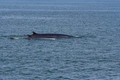 Las dos ballenas de Bryde Fotografía de archivo