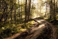 Las drzewa iluminujący słońcem przez mgły, paprocie zakrywa ziemię fotografia stock