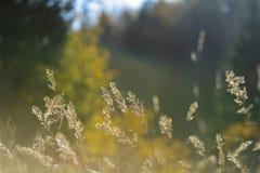 las encorvaduras de la hierba del otoño contra fondo oscuro en puesta del sol se encienden Imágenes de archivo libres de regalías