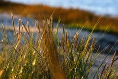 las encorvaduras de la hierba del otoño contra fondo oscuro en puesta del sol se encienden Fotos de archivo
