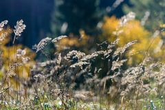 las encorvaduras de la hierba del otoño contra fondo oscuro en puesta del sol se encienden Fotografía de archivo libre de regalías