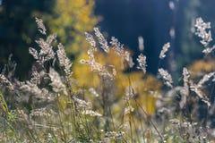 las encorvaduras de la hierba del otoño contra fondo oscuro en puesta del sol se encienden Imagen de archivo