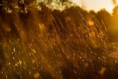 las encorvaduras de la hierba del otoño contra fondo oscuro en puesta del sol se encienden oro Foto de archivo libre de regalías