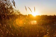 las encorvaduras de la hierba del otoño contra fondo oscuro en puesta del sol se encienden oro Fotografía de archivo