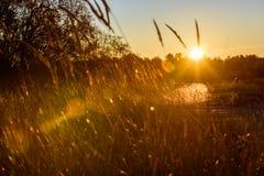 las encorvaduras de la hierba del otoño contra fondo oscuro en puesta del sol se encienden oro Imagenes de archivo