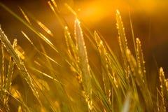 las encorvaduras de la hierba del otoño contra fondo oscuro en puesta del sol se encienden oro Foto de archivo