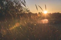 las encorvaduras de la hierba del otoño contra fondo oscuro en puesta del sol se encienden oro Imágenes de archivo libres de regalías