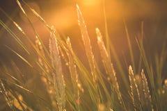 las encorvaduras de la hierba del otoño contra fondo oscuro en puesta del sol se encienden oro Imagen de archivo