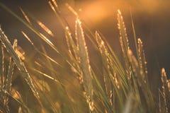 las encorvaduras de la hierba del otoño contra fondo oscuro en puesta del sol se encienden oro Fotos de archivo