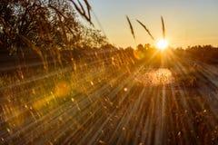 las encorvaduras de la hierba del otoño contra fondo oscuro en puesta del sol se encienden oro Imagen de archivo libre de regalías