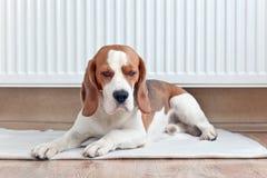 Las endechas del beagle cerca de un radiador caliente fotografía de archivo