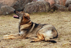 Las endechas del perro en un claro foto de archivo libre de regalías