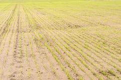 Las entradas del campo de trigo con el suelo arenoso Fotografía de archivo