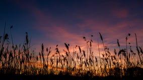 Las espadañas contra luz del sol sobre fondo del cielo en puesta del sol con flighting Fotografía de archivo