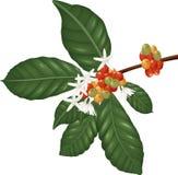 Las especies de Coffe ramifican con las bayas y el flor de café Fotografía de archivo libre de regalías