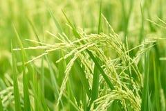 Las especies del arroz del jazmín consideran que el movimiento de ocsilación del viento ha cogido el th imagen de archivo libre de regalías