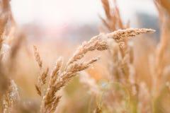 Las espigas de trigo que crecen en un ` s del granjero colocan en la caída Explosión del trigo del fondo amarillo claro borroso F Imagen de archivo