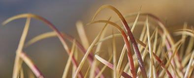 Las espinas del cactus en Anza Borrego abandonan el parque de estado Fotos de archivo