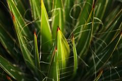 Las espinas dorsales verdes del cactus se cierran para arriba imágenes de archivo libres de regalías