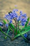 Esquilas las primeras flores de la primavera Foto de archivo
