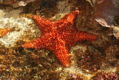 Las estrellas de mar cogieron en el parque de Smithsonian, observatorio de la fauna Fotos de archivo libres de regalías