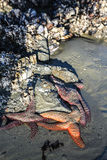 Las estrellas de mar en peligro se aferran en una roca Imagen de archivo libre de regalías