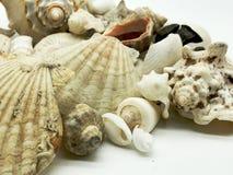 Las estrellas de mar minúsculas y enormes de la concha marina descascan el primer de la estación de verano de los crustáceos Fotografía de archivo libre de regalías