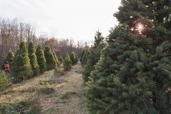 Las filas de árboles de navidad en una plantación maderera con la lente señalan por medio de luces Imagen de archivo