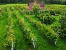 Las filas de frambuesa Bush en el jardín en la granja Fotografía de archivo