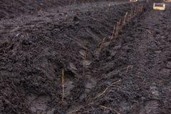 Las filas de los árboles jóvenes de la frambuesa plantados en agricultura cultivan Foto de archivo