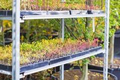 Las filas de los almácigos de diversas plantas en potes se colocan en el estante fotos de archivo