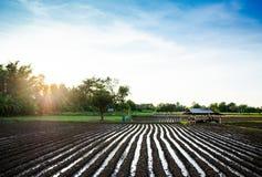 Las filas del cereal creciente brotan en suelo negro en fie agrícola Imagenes de archivo