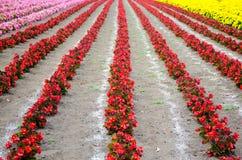 Las filas del jardín de flores rojo de la begonia en medio con América y el mA Foto de archivo libre de regalías