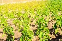 Las filas vegetales de la pimienta crecen en el campo cultivando, agricultura, verduras, productos agrícolas respetuosos del medi Fotografía de archivo