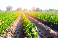 Las filas vegetales de la pimienta crecen en el campo cultivando, agricultura, verduras, productos agrícolas respetuosos del medi Foto de archivo libre de regalías