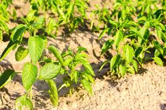 Las filas vegetales de la pimienta crecen en el campo cultivando, agricultura, verduras, productos agrícolas respetuosos del medi Imágenes de archivo libres de regalías