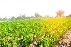 Las filas vegetales de la pimienta crecen en el campo cultivando, agricultura, verduras, productos agrícolas respetuosos del medi Foto de archivo