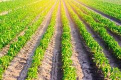 Las filas vegetales de la pimienta crecen en el campo cultivando, agricultura, verduras, productos agrícolas respetuosos del medi Fotos de archivo