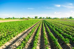 Las filas vegetales de la pimienta crecen en el campo Cultivo, agricultura Paisaje con la región agrícola Foto de archivo