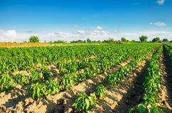 Las filas vegetales de la pimienta crecen en el campo Cultivo, agricultura Paisaje con la región agrícola Foto de archivo libre de regalías