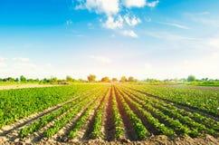 Las filas vegetales de la pimienta crecen en el campo Cultivo, agricultura Paisaje con la región agrícola Fotografía de archivo libre de regalías