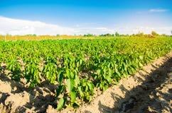 Las filas vegetales de la pimienta crecen en el campo Cultivo, agricultura Paisaje con la región agrícola Imagen de archivo libre de regalías