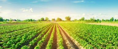 Las filas vegetales de la pimienta crecen en el campo Cultivo, agricultura Paisaje con la regi?n agr?cola bandera Foco selectivo imagen de archivo