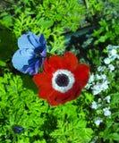 Las floraciones brillantes de la anémona en primavera añaden color a la cama del jardín Imagenes de archivo