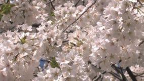 Las floraciones de la flor de cerezo enfocan hacia fuera almacen de metraje de vídeo