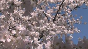 Las floraciones de la flor de cerezo enfocan hacia fuera metrajes