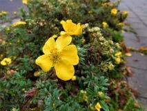 Las floraciones del amarillo de la ciudad al lado de la acera Fotos de archivo libres de regalías