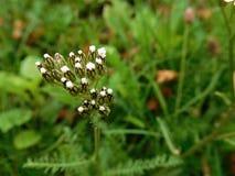 Las floraciones del blanco en hierba en bosque Fotografía de archivo