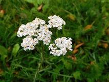 Las floraciones del blanco en hierba en bosque Fotos de archivo libres de regalías