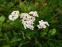 Las floraciones del blanco en hierba en bosque Imagenes de archivo